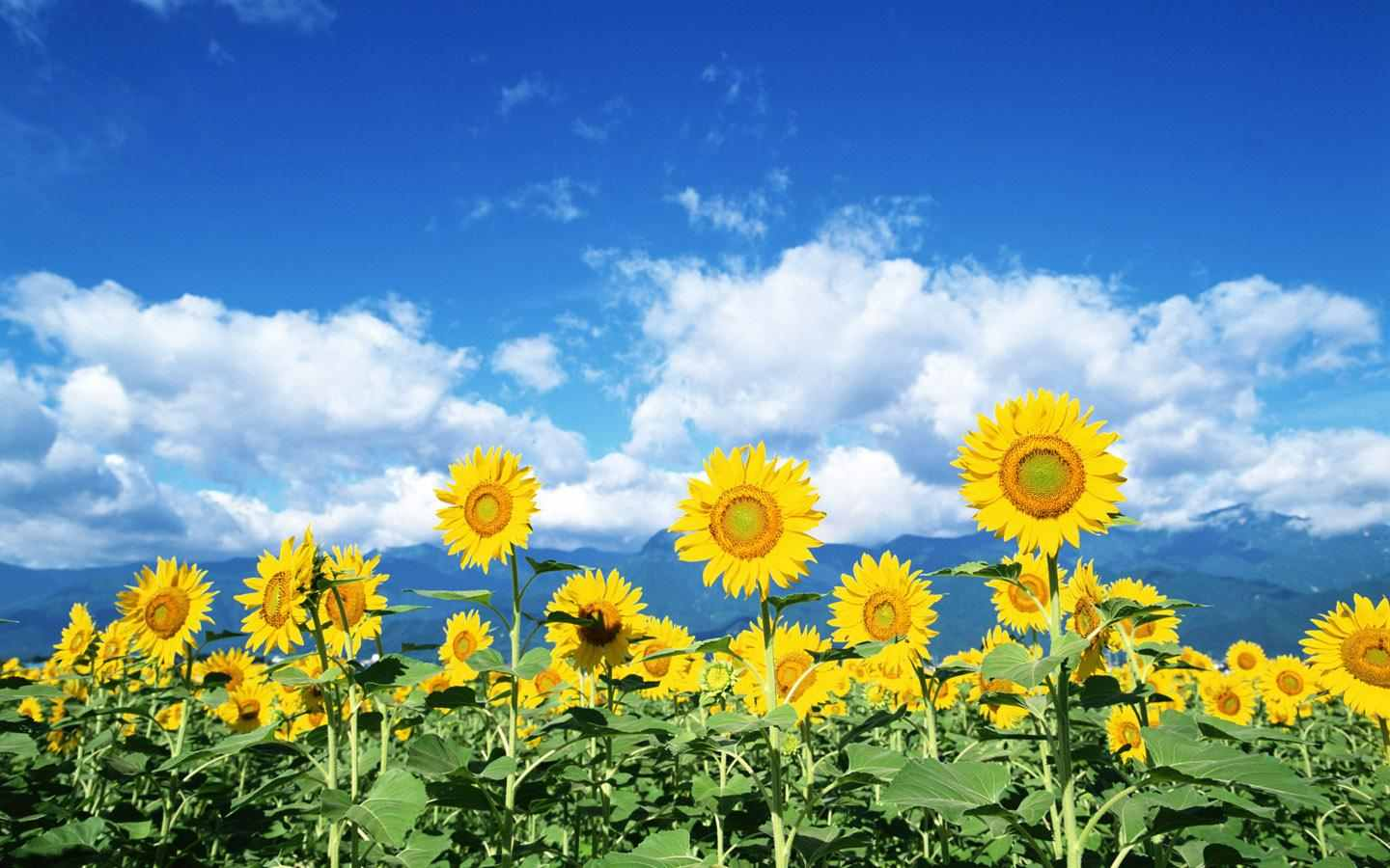 Flower Picture Sunflower Desktop Wallpaper
