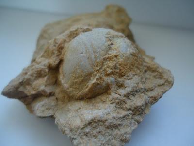 Amazing Fossil Sea Urchin Echinoid