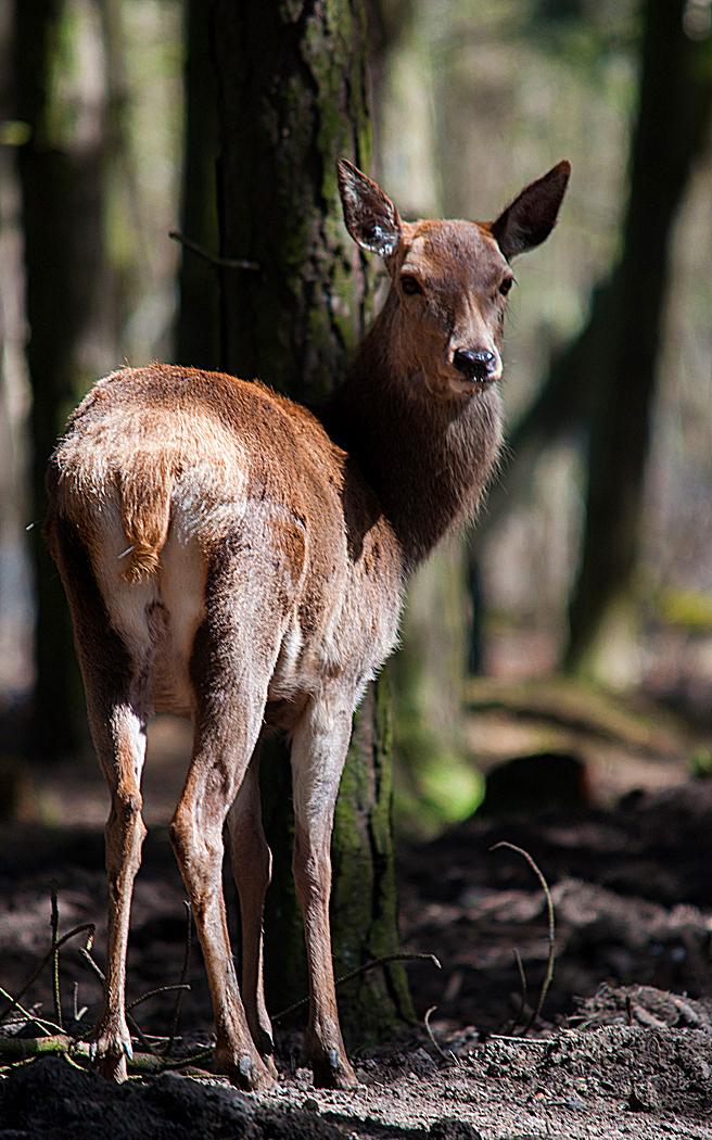 Red+Deer12.jpg