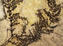 Identificada planta com flor que pode ser a mais antiga já conhecida