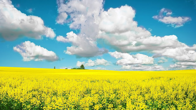 Yellow Field HD Wallpaper