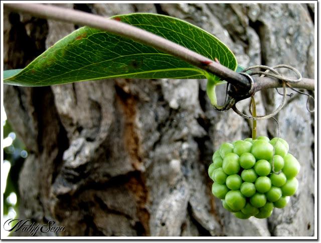 Frutinha de árvore