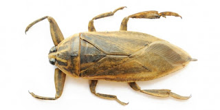 Kumbang air raksasa - wahyu only