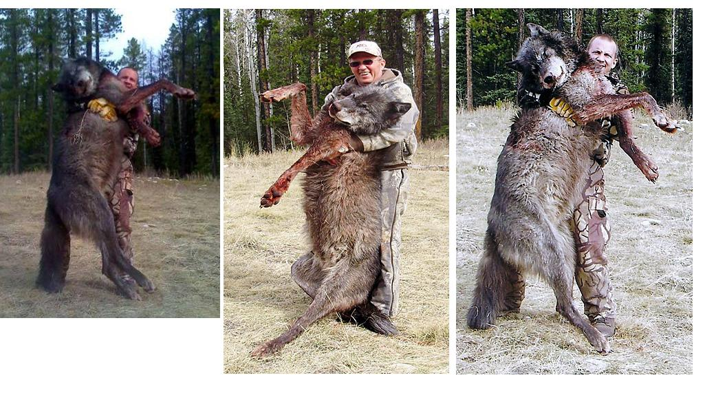 Got these pictures of wolves taken on Idaho tags in an email from ...