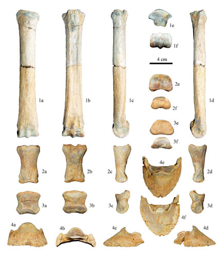 Equine Pelvic Limb Bones http://archaeologynewsnetwork.blogspot.com/2012/04/three-toed-horses-reveal-secret-of.html