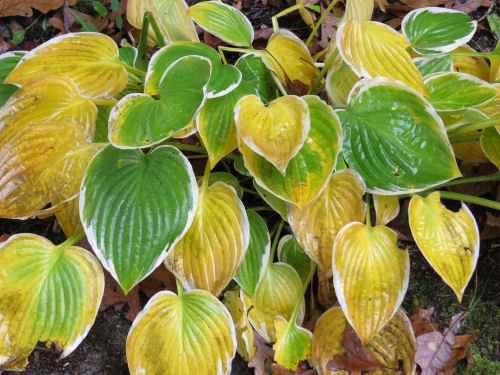 hosta in autumn