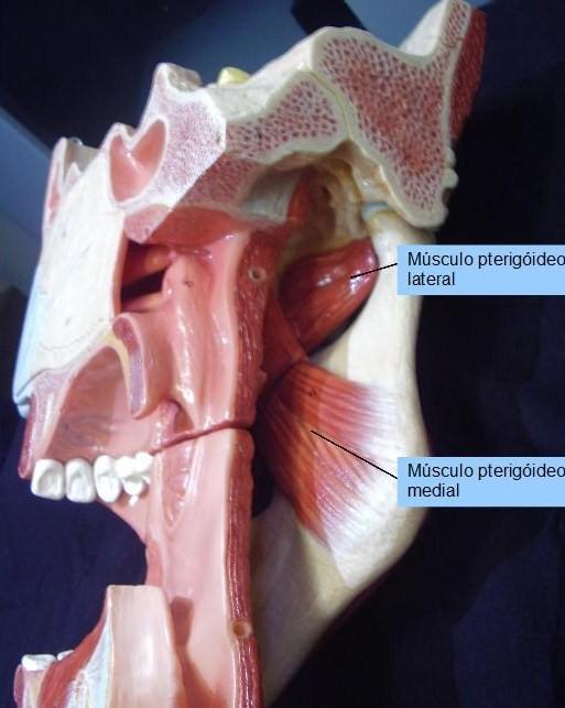 Anatomia Odontol Gica Imagens