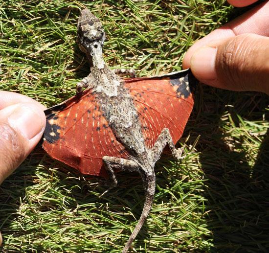 السحليه الطائره الدراكو flying-tiny-dragon-l