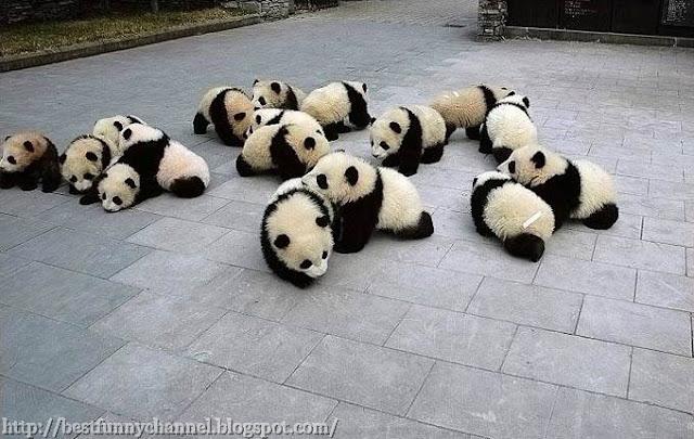 Cute pandas babies..