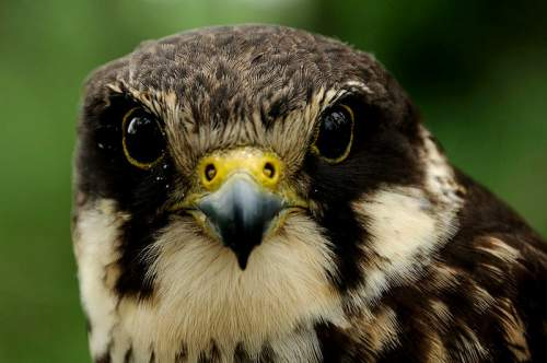 Indian birds - Image of Eurasian hobby - Falco subbuteo