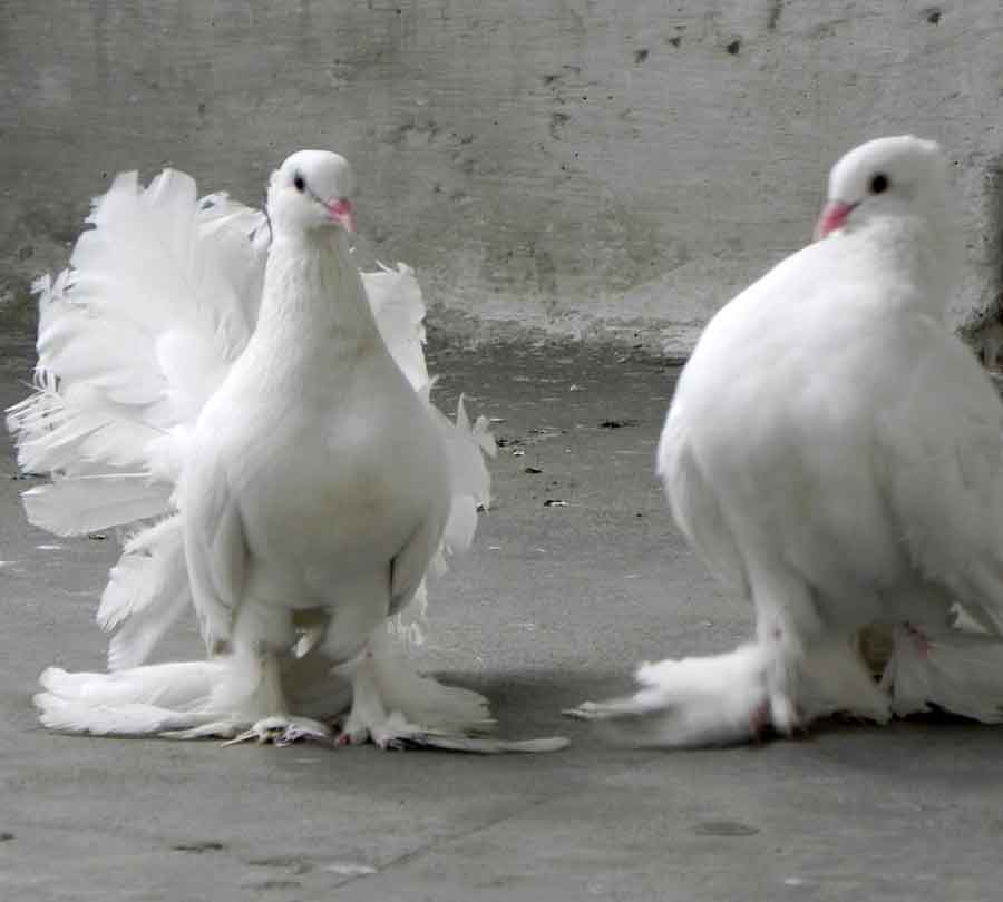1000+ images about Birds: -DOVES, PIGEONS on Pinterest ...