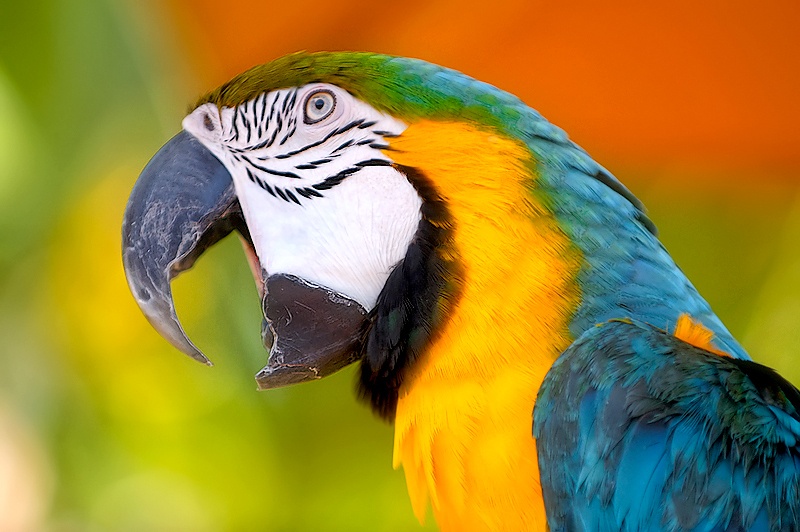 Parrot beak - photo#17