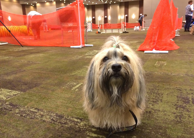 Rocco Havanese at 2015 Havanese National Specialty dog show