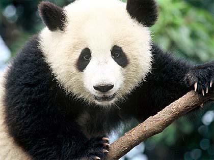 Foto del Oso panda