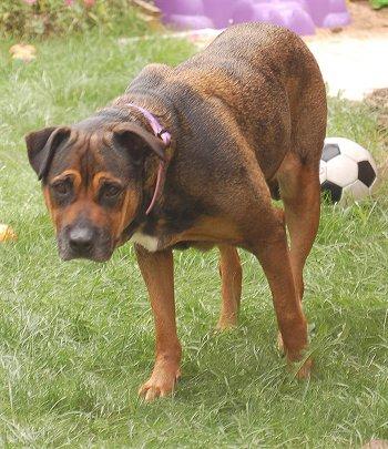 Retriever Labrador: Bullmastiff Rottweiler Mix