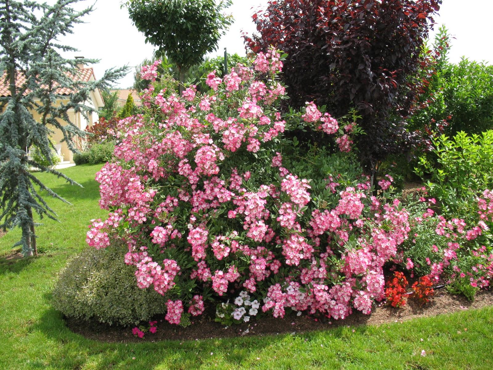 Roses du jardin ch neland le rosier mozart - Jardin de la rose doue la fontaine ...