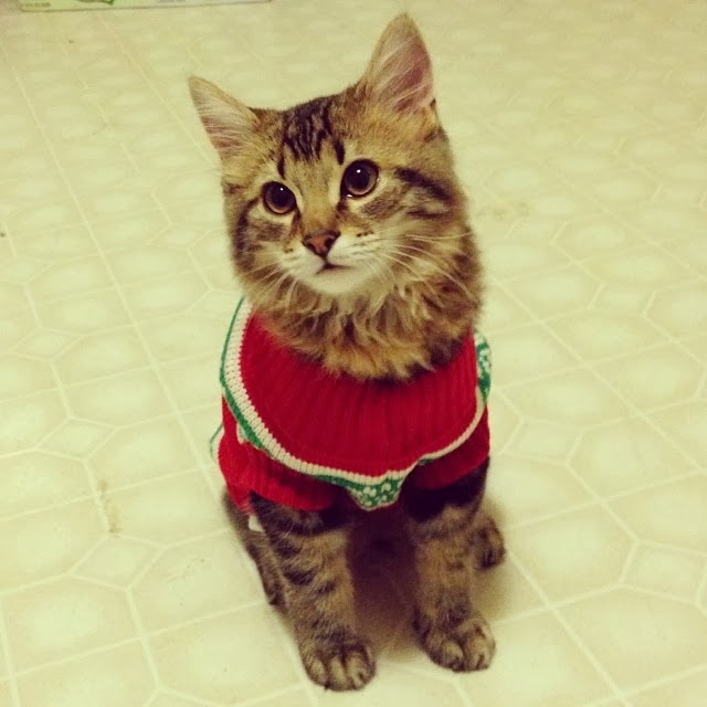 Funny cats - part 86 (40 pics + 10 gifs), cat wears red sweater