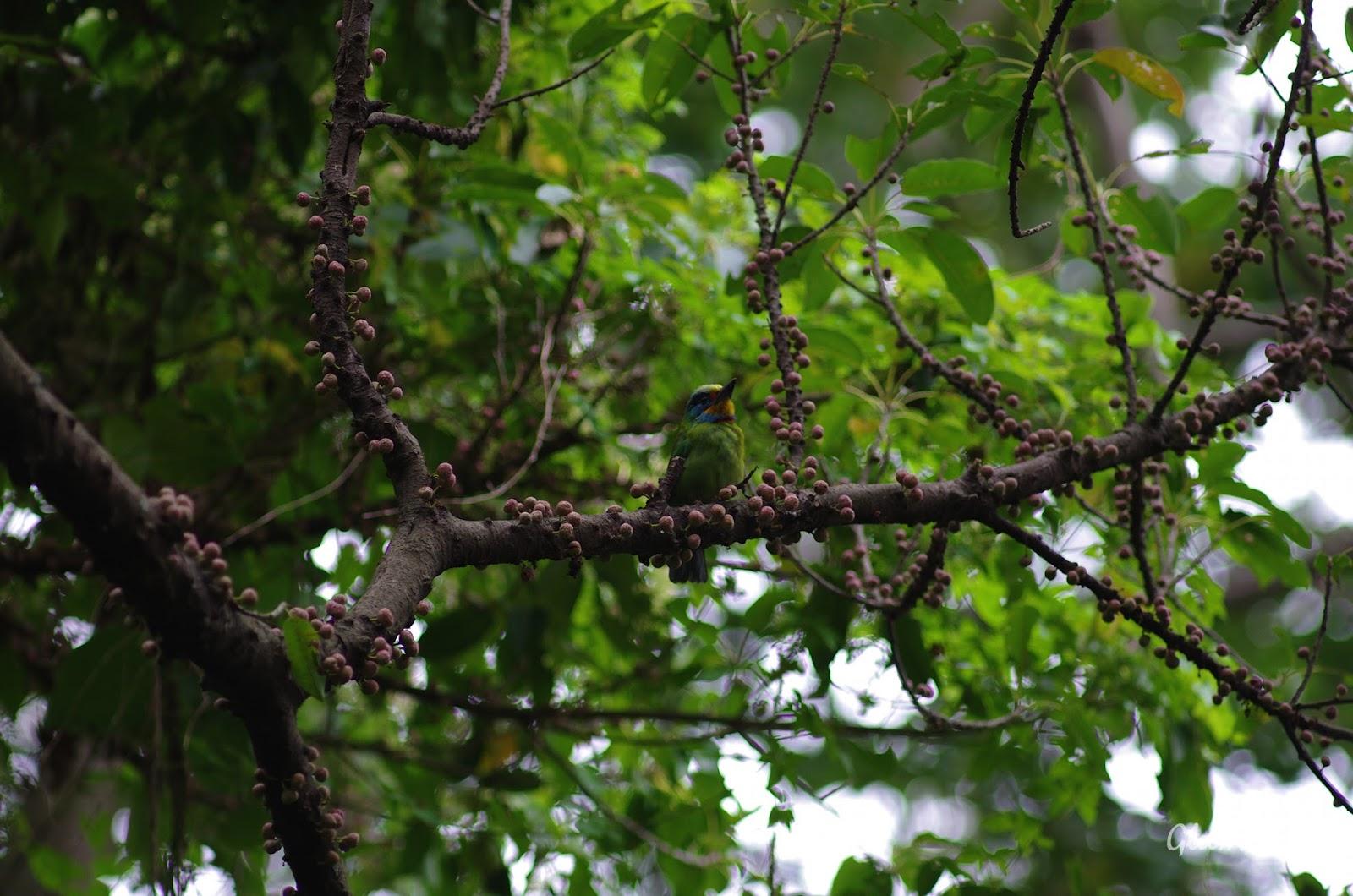 雞南山  五色鳥