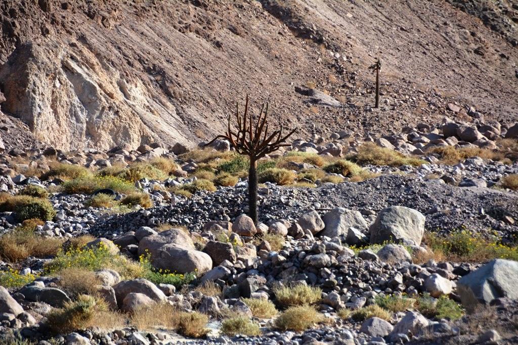 Candelabro desert cactus