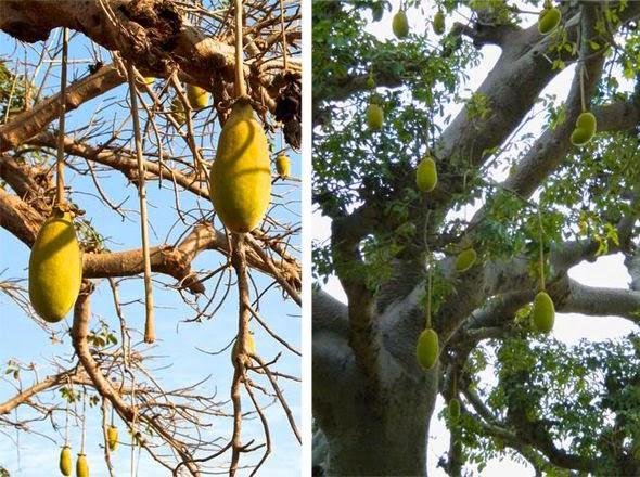 Fruto do Baobá, conhecido como Mukua ou Mulambe