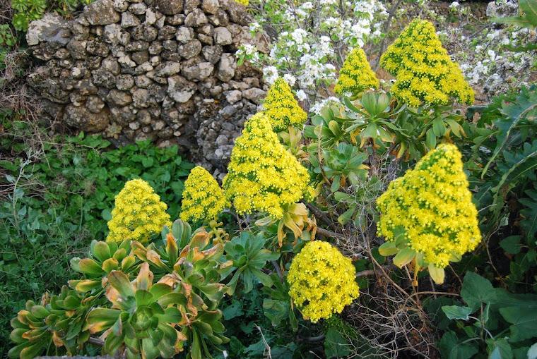 Aeonium holochrysum