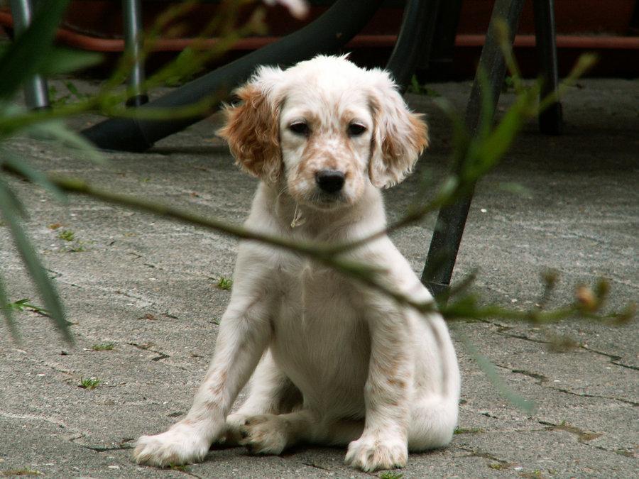 English Setter Puppy widescreen wallpaper