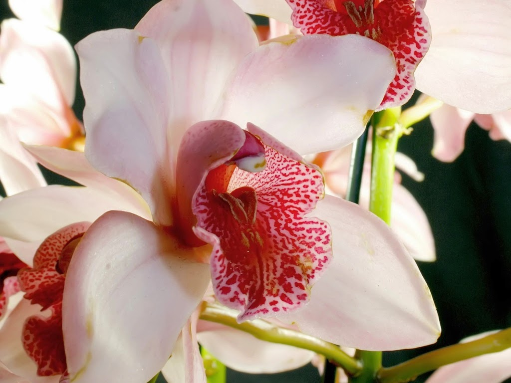 White-orchid-flower-with-red-color-1024x768.jpg