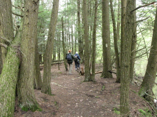 hikers under tall pines