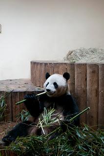 Panda Photography at scotland zoo