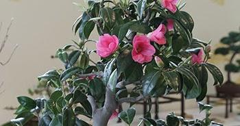 Bonsai camelia japonica cuidados verde jard n for Cuidados camelia japonica