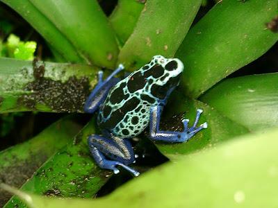 Foto Katak Panah Beracun (poison dart frog)