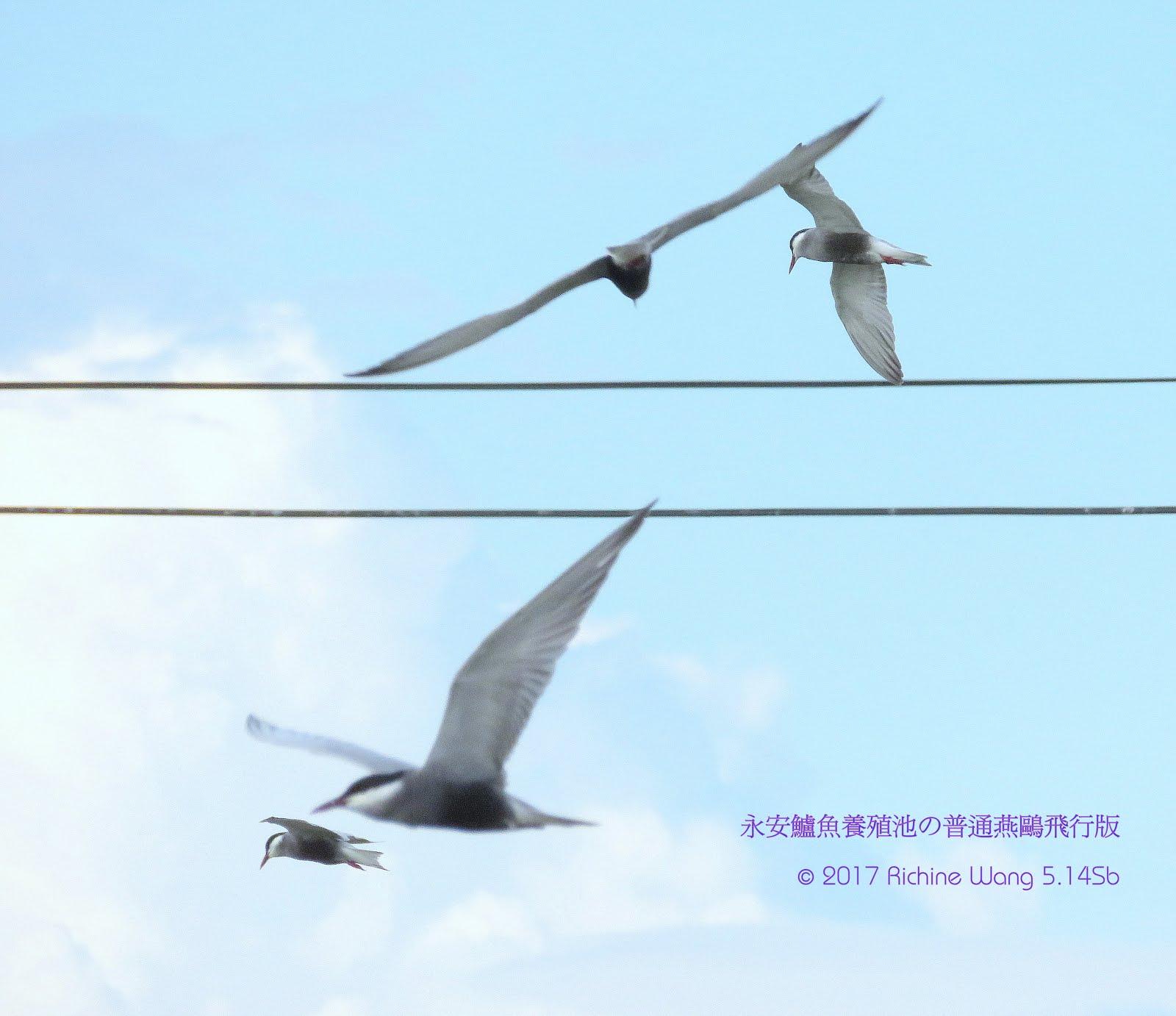 【高雄永安。春季黑腹燕鷗繁殖羽飛行獵影2017】05.14BFN - 31°c