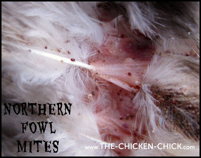 Northern Fowl MItes on Chicken Feathers and feather shafts with nits. Photo via The Chicken Chick