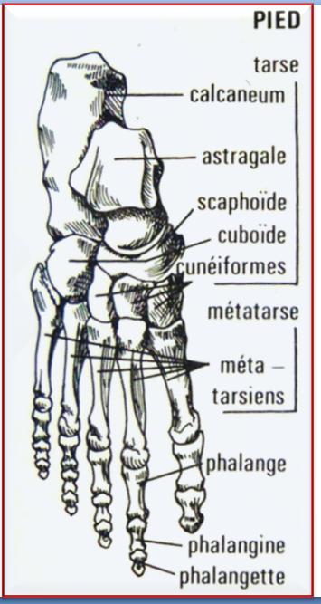 Schéma des os du pied