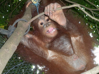 Bandut the infant orangutan takes to the trees!