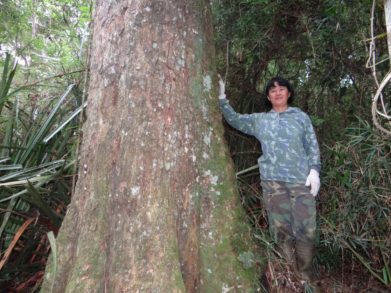 Exemplar gigantesco de canela preta ( Ocotea catharinensis ) que está  #637D4E 1280x960