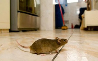 Tips Cara Mudah Cegah Tikus Berkeliaran di Rumah