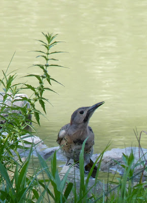 flicker drinking