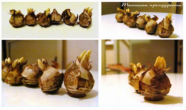 Проросшие луковицы крокусов