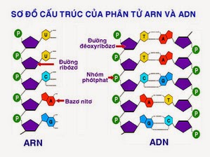 Trắc nghiệm cấu trúc adn
