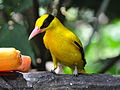 burung kepodang emas, kicau kepodang emas,