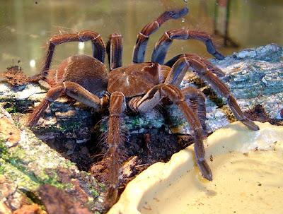 Biggest Spider in the world