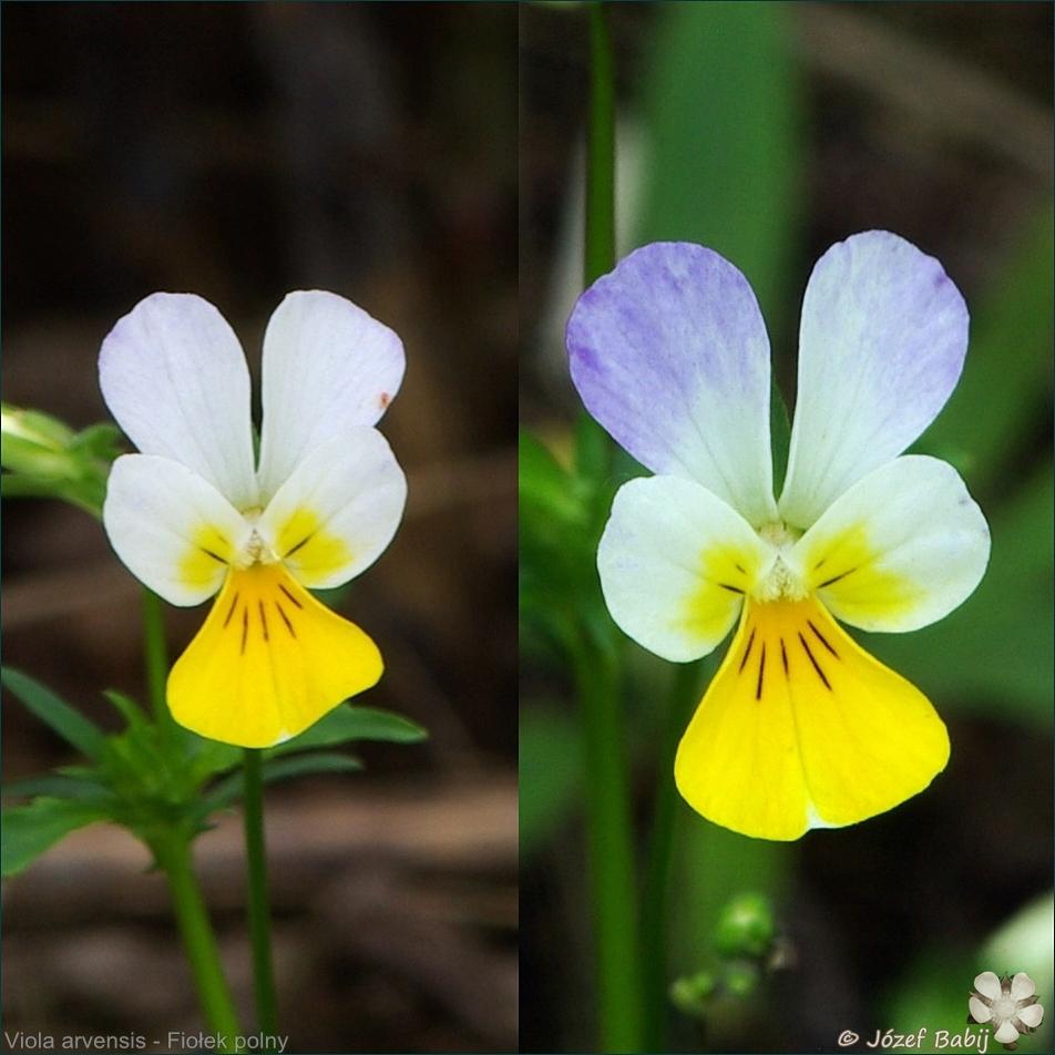 Viola arvensis - Fiołek polny