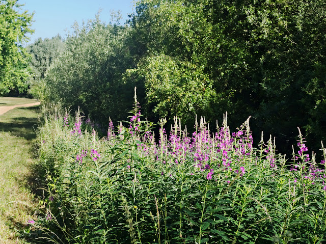 Rosebay willowherb on banks of 13th Public Drain