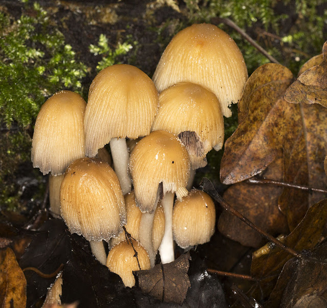 Coprinellus micaceus (Glistening Inkcap). In the woods by Pratt's Bottom, 1 December 2012.