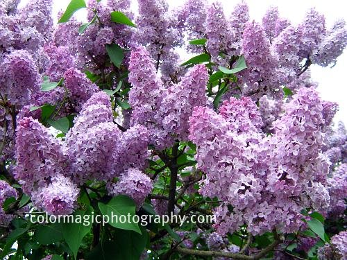 Their large panicles of flowers in all shades of purple, white, dark  title=