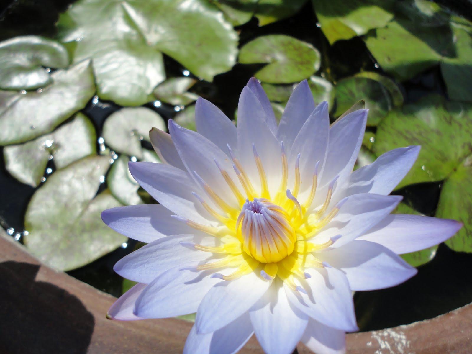 asia up to you la fleur de lotus tout un symbole. Black Bedroom Furniture Sets. Home Design Ideas