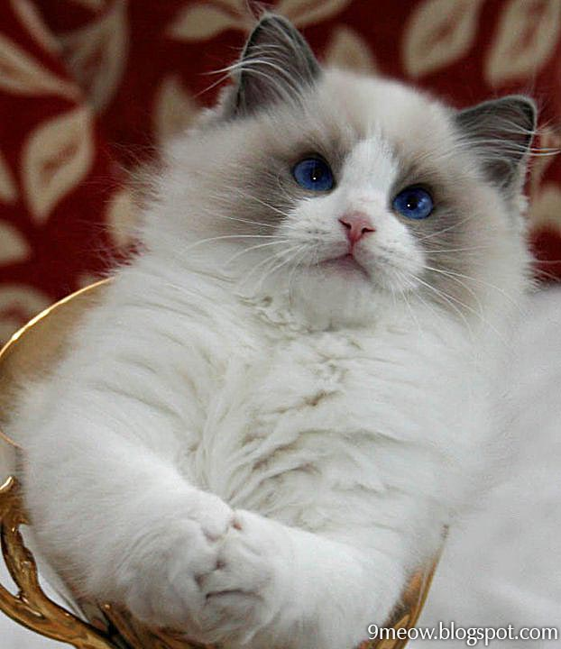 Cute Ragdoll Cats
