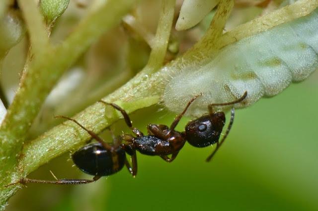 Ant feeding on honeydew excreted by myrmecophilous caterpillar