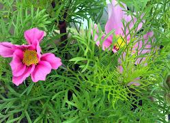 KosMos  -ettårig sommerblomst